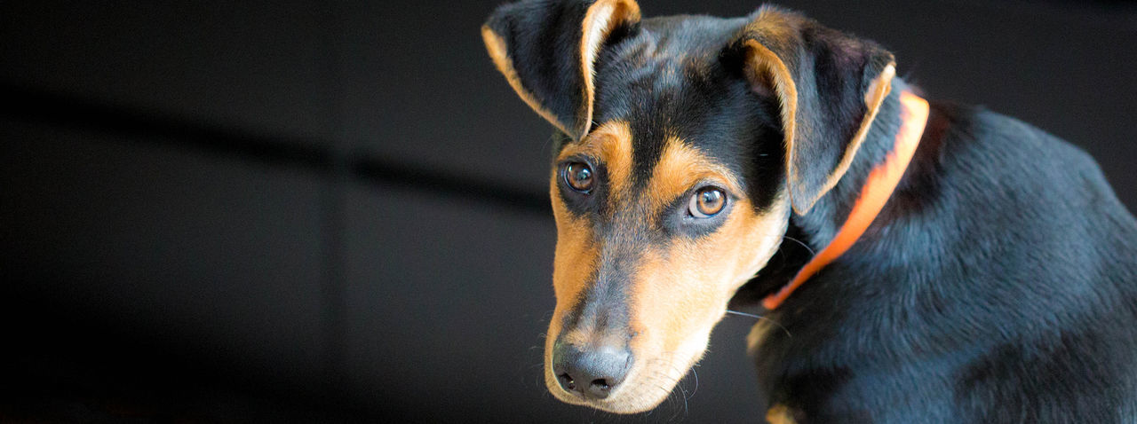 Puppy Dog Eyes Animal Body Part Animal Head  Animal Themes Close-up Doberman  Dog Domestic Animals Focus On Foreground German Shepherd Hound Indoors  Mammal No People One Animal Pets Portrait Puppy Puppy Love Selective Focus Snout Vertebrate Zoology