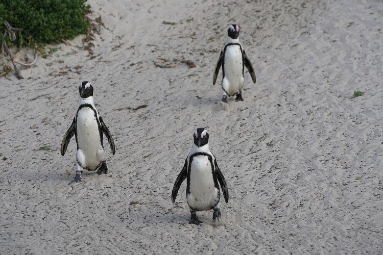 High angle view of penguins on beach
