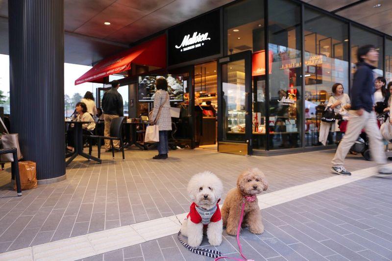 Pet I Love My Dog My Toypoodle Mallorca Mallorcatokyo Japon Cafe Poodle Love DogLove Toypoodle