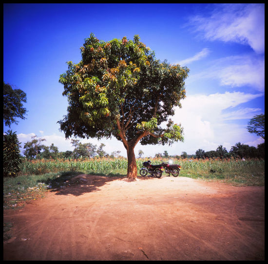 Nature of Uganda Adventure Africa African Cow African Sky African Tree Analogue Photography Bull Bull In Nature Cattle City Colours Cow Cow In Nature Horns Kira Kuh & Co Lomography Nature No People Outdoors Savanna Slide Photography Travel Trip Uganda  The Great Outdoors - 2017 EyeEm Awards