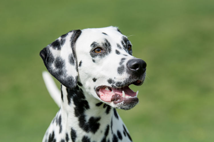 Close-up shot of beautiful Dalmatian dog Animal Themes Close-up Dalmatian Dog Day Dog Domestic Animals Focus On Foreground Mammal Nature No People One Animal Outdoors Pets