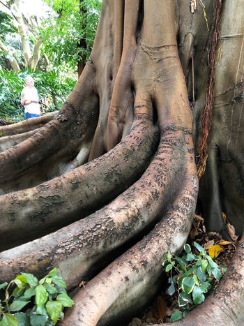 Plant Tree Day Tree Trunk Trunk Root Growth Plant Part No People Outdoors Nature Sculpture Close-up Leaf Root Vegetable Vegetable Statue Art And Craft Human Representation Forest Intertwined Baumwurzeln Mammutbaum Tenerife Island Teneriffa