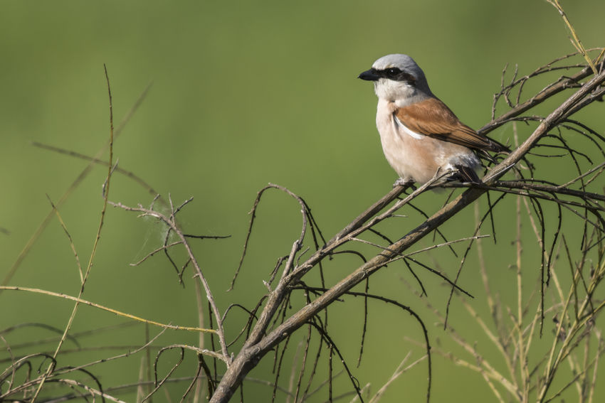 A red-backed shrike on a branch Animals In The Wild Landscape_Collection Lanius Collurio, Looking At Camera Sitting Outside Songbird  Wildlife & Nature Animal Themes Bids Life Bird Birds Birds World Birds On Built Structure Natur Outdoors Photograpghy  Red-backed Shrike Searching Shrike Shrikes Singing Bird Sitting Alone Vantage Point Shot