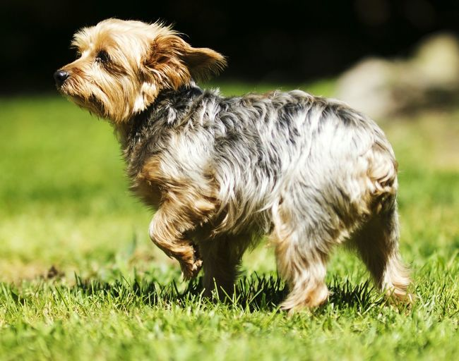 Yorkshire terrier on grass at park