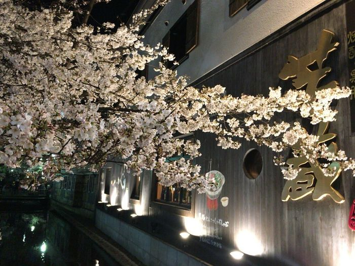 Kyoto Street Sakura Kyoto Street Kyoto,japan Kyoto City Night Kyoto City Sakura Cherry Blossoms Spring Lights Kyoto Spring Flower Kyoto NIght Lights Kyoto Night Sakura Kyoto City Kyoto Springs Kyoto Sakura 2018 Kyoto City Sakura Lighting Equipment Illuminated No People Luxury Hanging Architecture Stories From The City Night