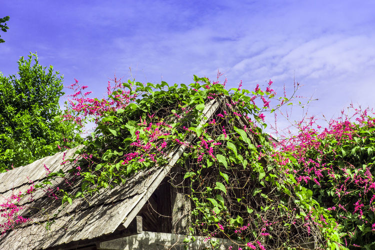 Roof Beauty In Nature Day Environment Flower Flower On The Roof Flowering Plant Fragility Freshness Green Color Growth Low Angle View Multi Colored Nature No People Outdoors Pink Color Pink Flower Plant Sky Tranquility Tree Vulnerability