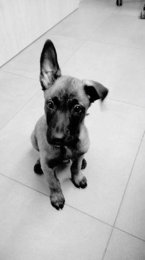 Pets Puppy Malinois Dog Malinoislovers Malinois