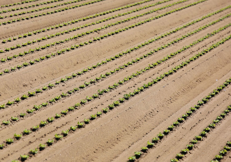 field cultivated with green lettuce shoots growing in soil. Intensive agriculture Agriculture Fieldscape Growing Plant Agricultural Field Agricultural Land Cultivated Cultivated Land Cultivation Food Horticulture Intensity Intensive Lettuce Plain Po Valley Sand Sandy Soil Sand Vegetable