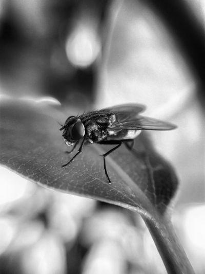 Fly Bug Insect Bnw Blackandwhite Drinking Biohazard Disease Virus Légy Feketefehér Macro