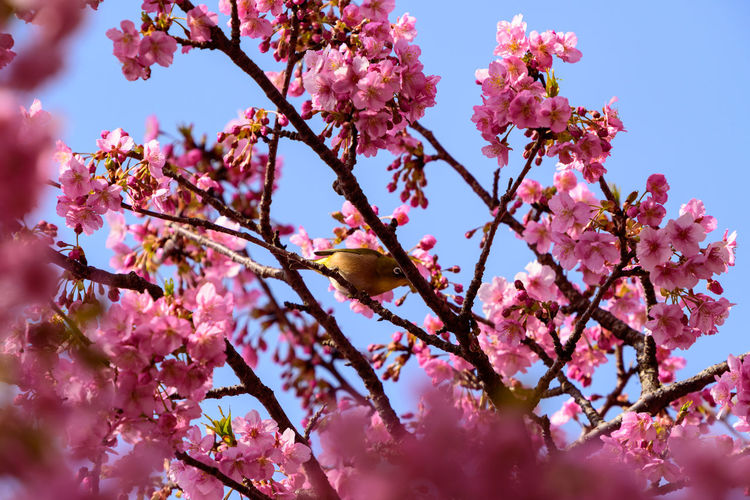 Pink Color Flowering Plant Flower Growth Fragility Plant Beauty In Nature Tree Vulnerability  Freshness Blossom Low Angle View Sky Branch Nature Selective Focus Day Close-up No People Cherry Blossom Cherry Tree Outdoors Flower Head Plum Blossom Zosterops Japonicus