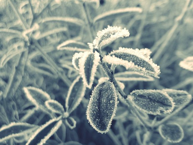 Frosty Frozen Frozen Nature Frozen Plants Privet Monochrome Blackandwhite Black And White Black & White B/w Blackandwhite Photography Urban Filter Postprocessing Enlight Enlightapp Enlight App Windows 10 Windows 10 Mobile Lumia920 Lumia 920 Nokia  Nokia Lumia 920 Showcase: February