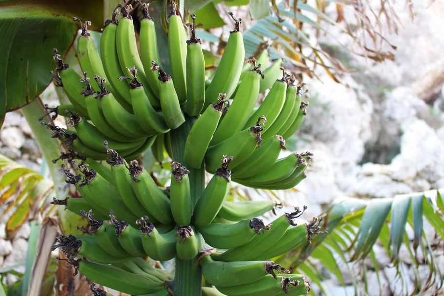 Agriculture Banana Banana Fruit Banana Tree Beauty In Nature Close-up Day Detail Farm Farming Food Freshness Fruit Fruits Green Color Growing Growth Growth Malta Nature No People Organic Organic Farming Outdoors Tree