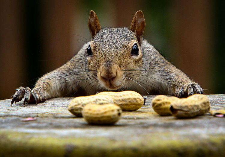 Close-up of squirrel with peanuts