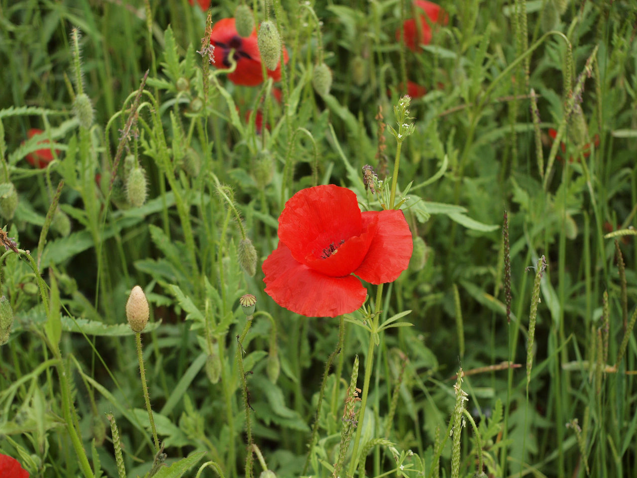CLOSE-UP OF RED POPPY ON FIELD
