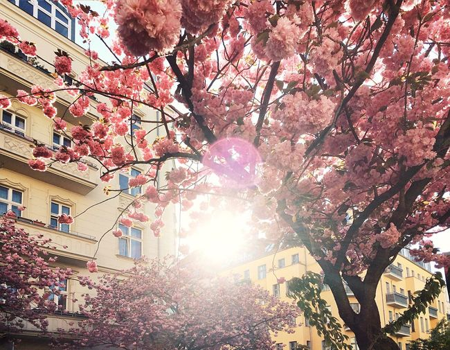 Low angle view of cherry blossoms in city