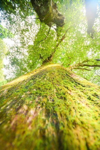 どこまでも苔むしているのに、生命力に満ち溢れている。 Praying Shinto Shrine Sacred Tree Sacred Places Sacred Shinto Shrine WoodLand Plant Tree Nature Beauty In Nature Land Tranquility Green Color Day No People Sunlight Environment Forest Outdoors Growth Landscape Tranquil Scene Scenics - Nature Sky Trunk