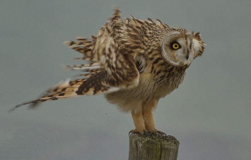Beauty In Nature Bird Bird Of Prey Nature Outdoors Portrait Short Eared Owl Velduil Wildlife & Nature