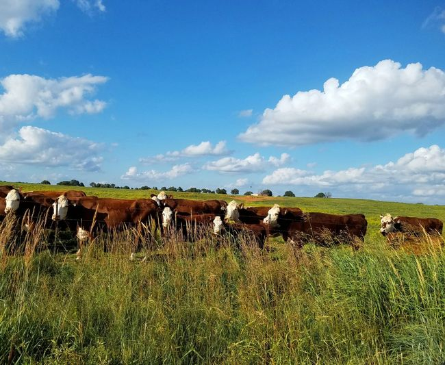 Herd that ya'll? Grazing Agriculture Group Of Animals Cow Cattle Herd Sky Animal Themes Livestock Ranch Herbivorous Domestic Cattle