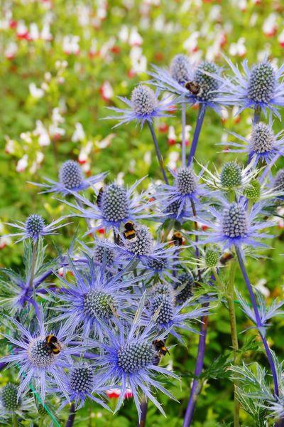 Flowers,Plants & Garden Flowers, Nature And Beauty Sea Holly Bees Bees And Flowers Bees Flower Wildlife Nature Bumblebee Bumble Bee Bumblebee On Flower LUMIX DMC FZ1000