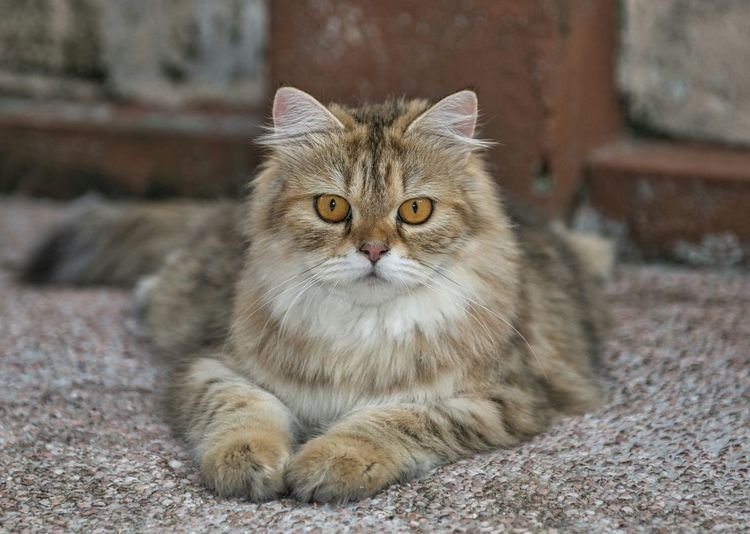 Portrait of maine coon cat relaxing on street