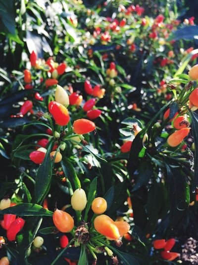 Chilli Plant Chilli Fruit Growth Healthy Eating Food And Drink Plant Food Plant Part Flower Berry Fruit Green Color Day Tree Wellbeing Nature Close-up Beauty In Nature Leaf Freshness No People Outdoors