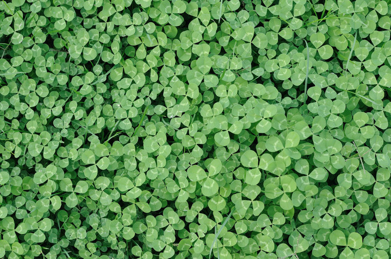 Backgrounds Beauty In Nature Clover, Four Leaf Clover, Lucky, Ireland, Saint Patrick, Plant, Green, Background, Grass, Fodder, Livestock Day Freshness Full Frame Green Color Growth Leaf Lush Foliage Nature No People Outdoors Plant