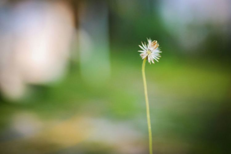 flower Nature Flower Flower Head Dandelion Seed Close-up Plant Growth Outdoors No People Day Beauty In Nature Flowers,Plants & Garden Flowerlovers Flying High