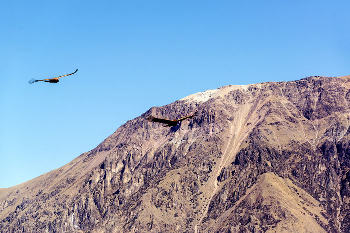 Two Andean Condors flying through the Colca Canyon near Arequipa, Peru Andean Condor Arequipa Beauty In Nature Beauty In Nature Bird Birds Blue Blue Sky Brown Canyon Colca  Colca Canyon Condors Cóndor  Landscape Nature No People Outdoors Peru Scenics Sky South America Tourism Travel Travel Destinations