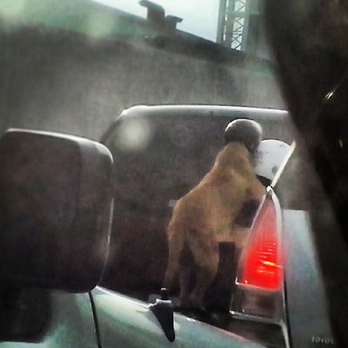 Dog wearing helmet while riding. It is more law abiding than other people. Motorist Backride Dogs Traffic igersphilippines igersmanila