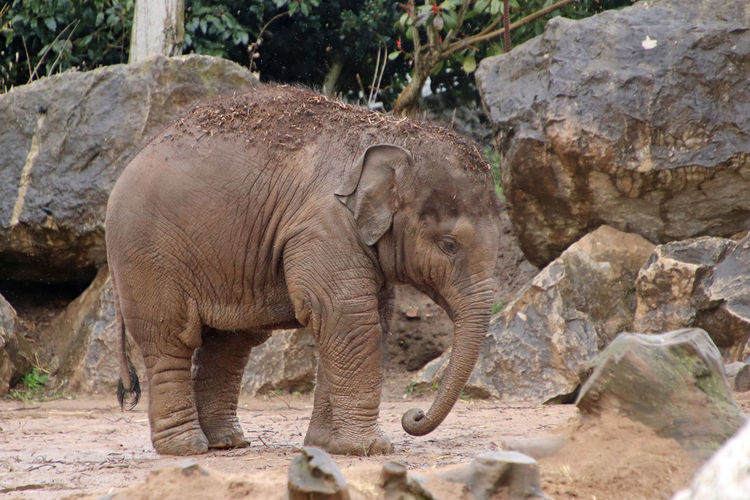 Baby Elephant, photo taken at Chester Zoo with a Canon EOS camera Chester Zoo Elephent Wildlife & Nature Wildlife Photography Zoo Baby Animals Baby Elephant Cute Wildlife