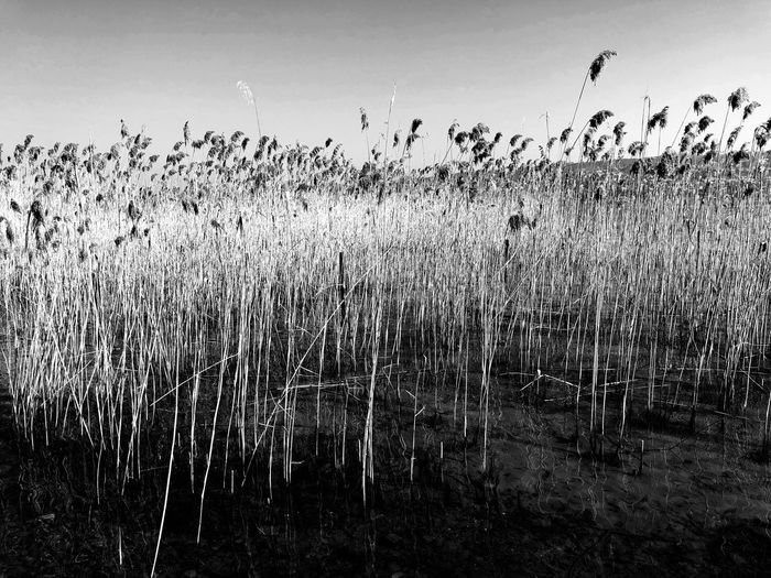 Reed .... Sky Nature No People Flying Vertebrate Bird Animals In The Wild Day Outdoors Beauty In Nature Plant