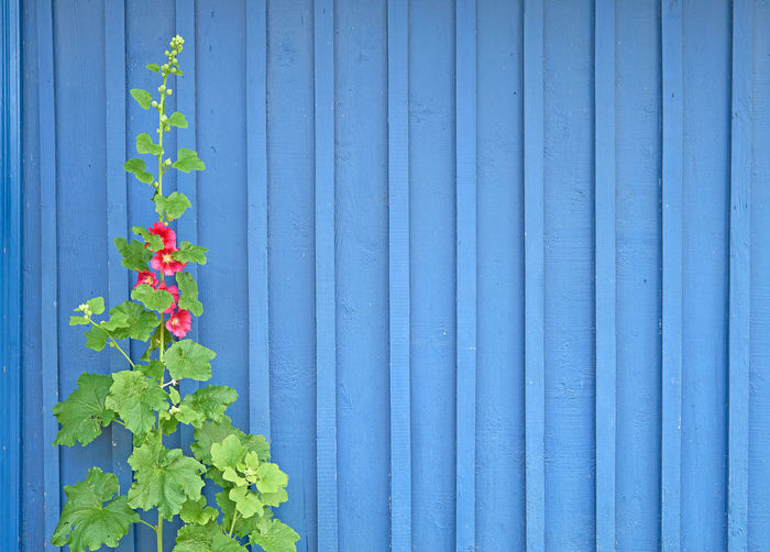 Close-up of plants against blue wall