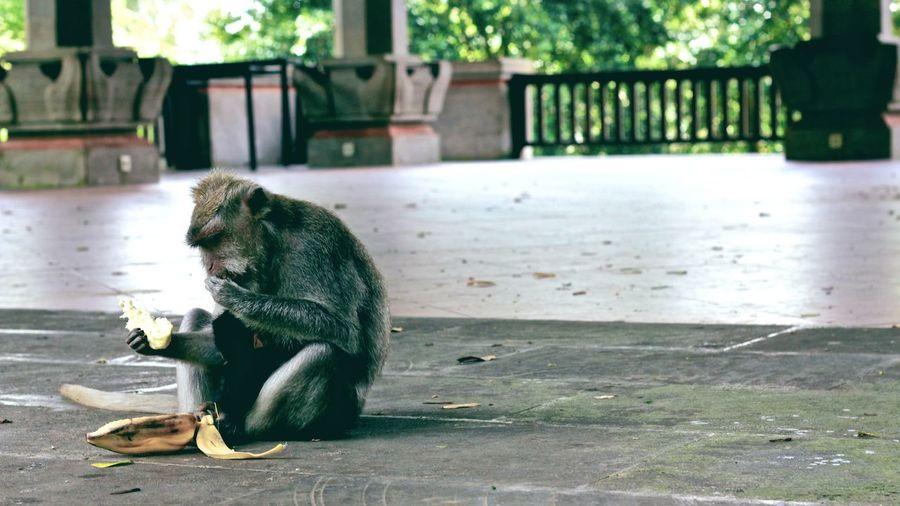 Monkey Eating Banana While Sitting On Footpath