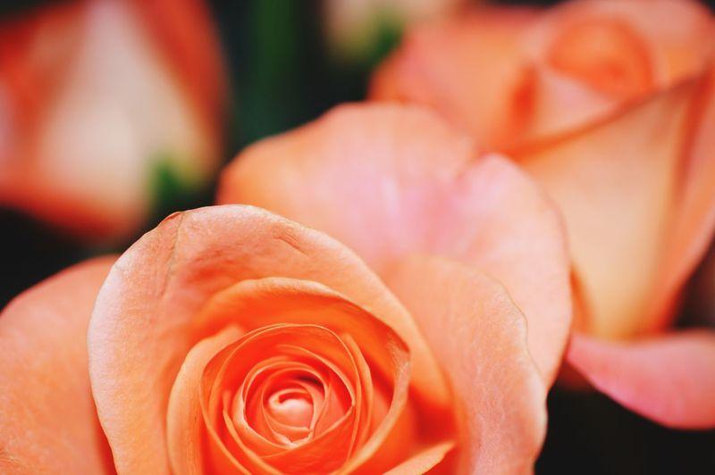 Roses Flower Porn Beautiful Love
