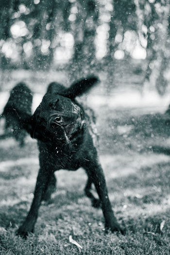 Animal Themes Beauty In Nature Blackandwhite Blur Blurred Background Blurred Motion Blurry Bokeh Dog Domestic Animals Focus On Foreground Fun Nature No People One Animal Outdoors Shake Shaking Spray Water