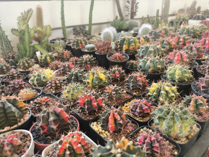 High angle view of succulent plants in greenhouse