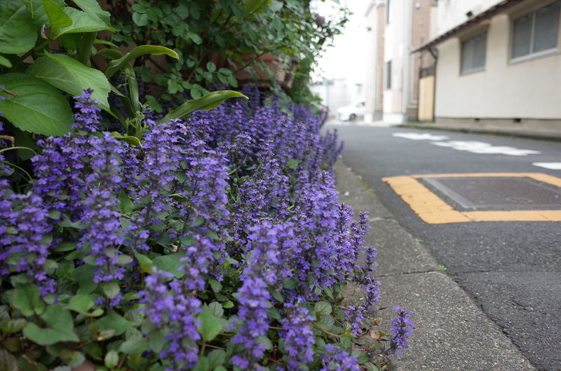 Close-up of purple flowering plant in street