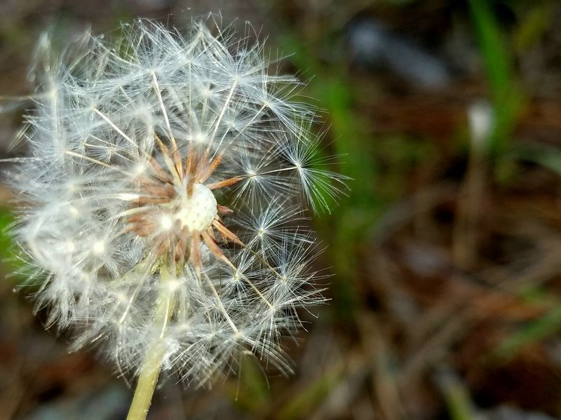 Dandelion Flower Fragility Nature Dandelion Seed Softness Freshness Growth Close-up Uncultivated Focus On Foreground Wildflower Plant Flower Head Beauty In Nature Outdoors No People Day Copyspace Steadfast Delicate Fluff Nature Background Rewilding
