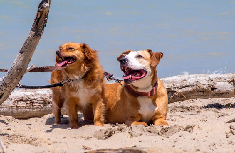A pair of dogs might be on a leash, but they are still happy to be out by the lake on a summers day