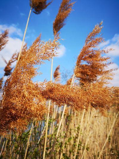 Along The River Rural Scene Cereal Plant Agriculture Blue Sky Close-up Plant Landscape