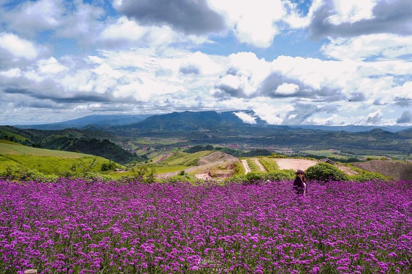 Verbena 💐 Purple Flower Purple Verbena Bonariensis Verbena Flower Beauty In Nature Flowering Plant Nature Land Cloud - Sky Sky Landscape Day