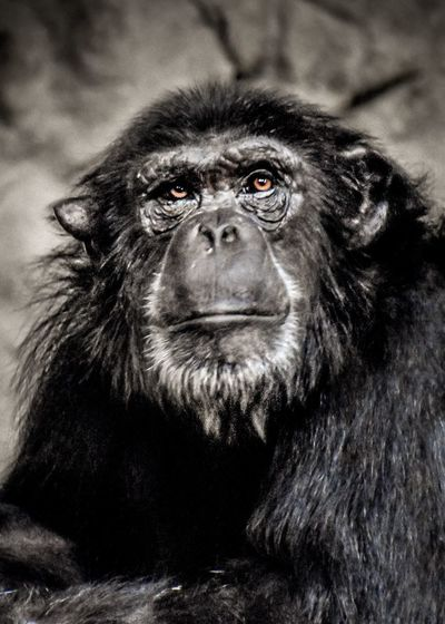 Chimp portrait Chimpanzee Chimp Mammal Primate Ape Animal Wildlife One Animal Vertebrate No People Looking Looking At Camera Close-up Portrait