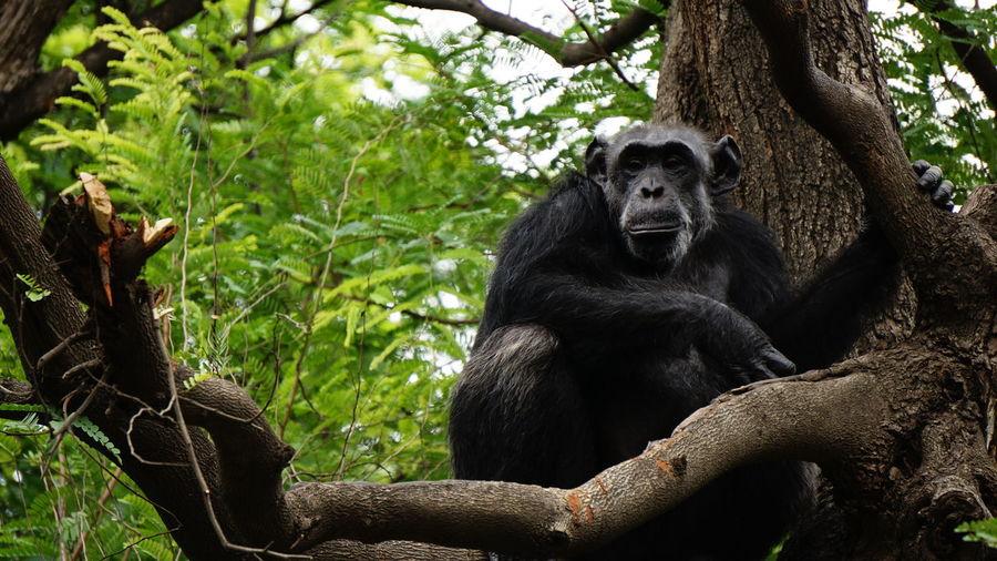 Portrait of chimpanzee on tree