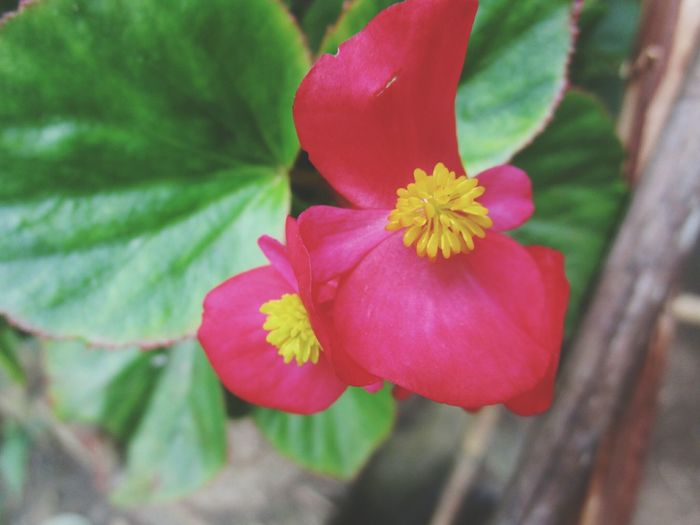 Flower Petal Flower Head Fragility Freshness Beauty In Nature Nature Close-up Pink Color Growth Red Plant Blooming No People Outdoors Day