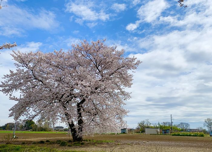 Cherry blossom tree on field against cloudy sky