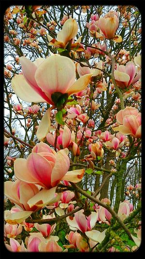 just a a little time this tree will exposure the beauty of his moment. magnolia . Pantone Colors By GIZMON Flowers