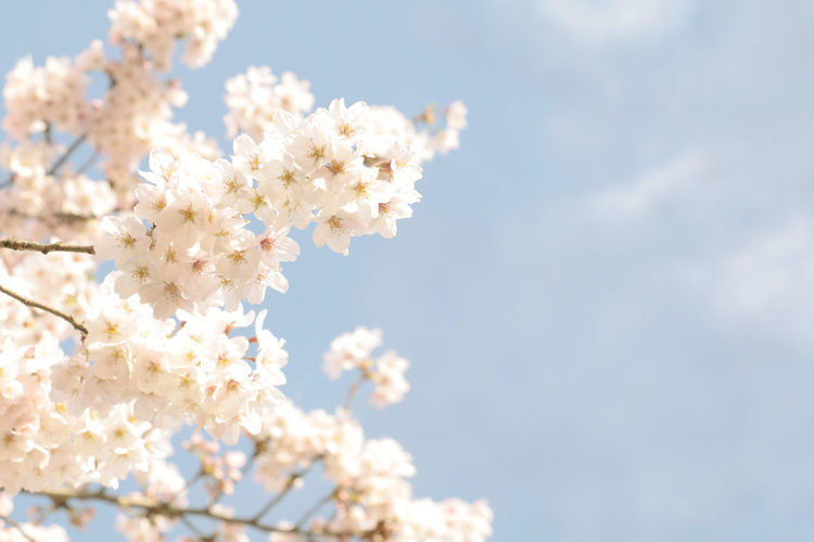 Japanese cherry blossom full blooming on blue sky Flower Flowering Plant Fragility Freshness Plant Vulnerability  Beauty In Nature Blossom Springtime Growth Cherry Blossom Nature Close-up White Color No People Day Tree Branch Flower Head Outdoors Cherry Tree Bunch Of Flowers Sakura Japan Japanese