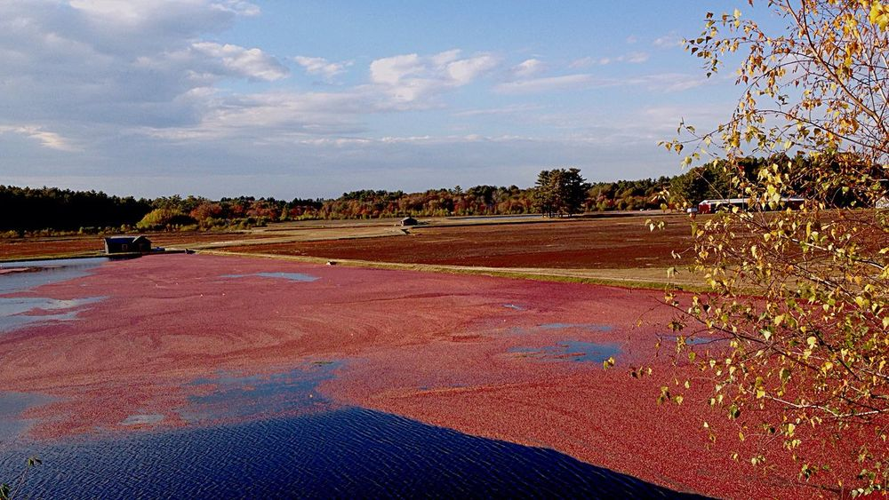 Cranberry Bog Landscape Harvesting Cranberries Tranquil Scene Landscapes With WhiteWall Landscape_photography Landscape_Collection