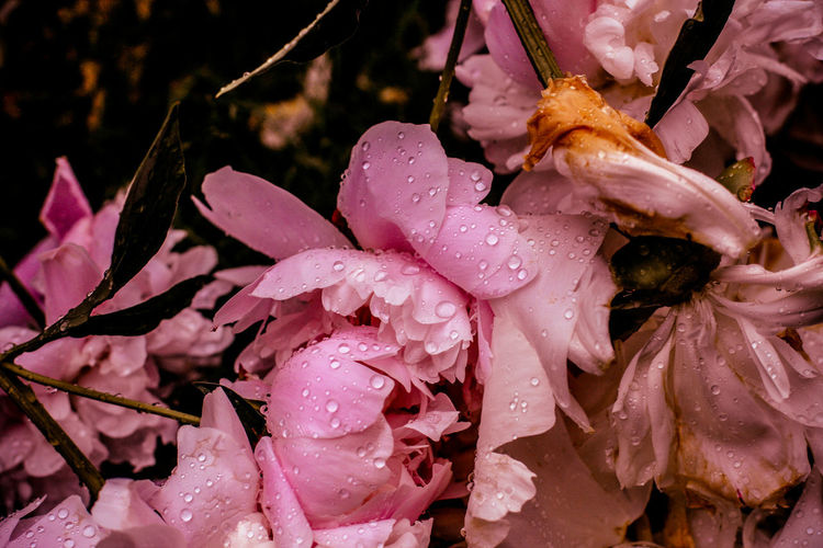 Close-up of raindrops on pink flowers
