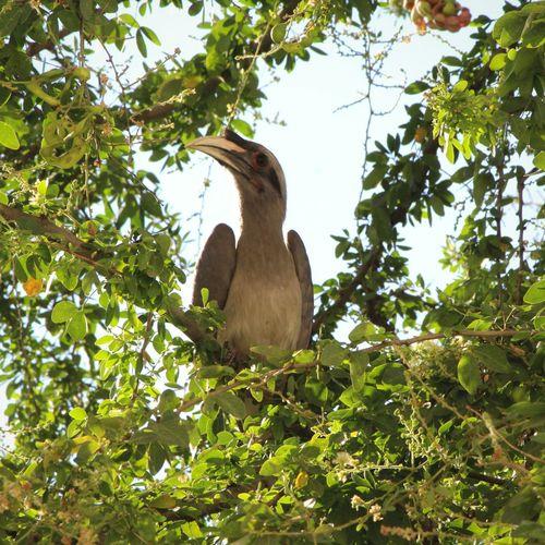 Birds_n_branches Hornbill In A Tree Bird Photography Birds_collection Bird Watching Birds🐦⛅ Grey Hornbill
